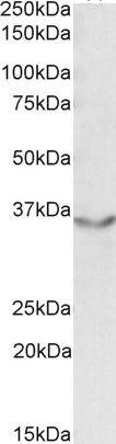 JAM2 Antibody (PA5-19160)