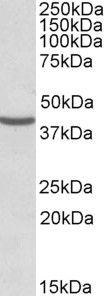 NUDC Antibody (PA5-19168) in Western Blot