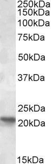 POLR2G Antibody (PA5-19171) in Western Blot