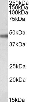 ATP1B1 Antibody (PA5-19199) in Western Blot