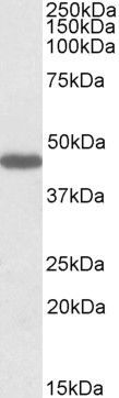 PROKR2 Antibody (PA5-19208) in Western Blot