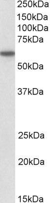 CD80 Antibody (PA5-19211)