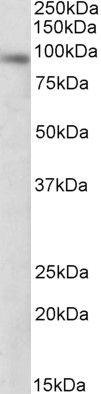 DTX3 Antibody (PA5-19212)