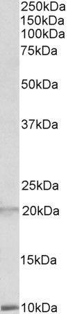 Defensin 1/3 Antibody (PA5-19228)
