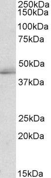 TIA1/TIAL1 Antibody (PA5-19240)