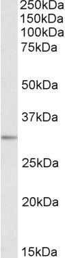 MAPRE3 Antibody (PA5-19254)