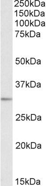MAPRE3 Antibody (PA5-19254) in Western Blot