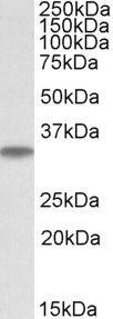 MAPRE3 Antibody (PA5-19255) in Western Blot