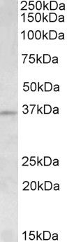 Aurora C Antibody (PA5-19256)