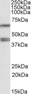 PON2 Antibody (PA5-19257) in Western Blot