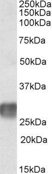 LAIR1 Antibody (PA5-19262)