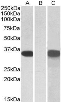 CRISP2 Antibody (PA5-19265)