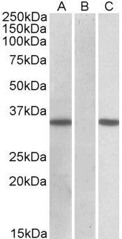 CRISP2 Antibody (PA5-19266)