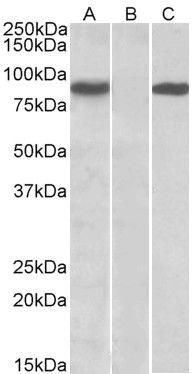 STAT4 Antibody (PA5-19272)