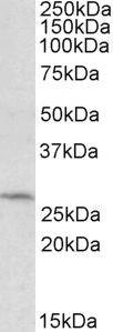 DCUN1D1 Antibody (PA5-19284)