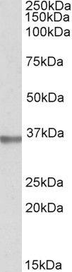 SPON2 Antibody (PA5-19294) in Western Blot