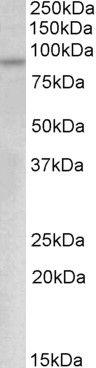 Myb Antibody (PA5-19310) in Western Blot