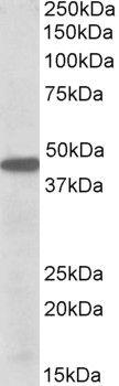 PBX1 Antibody (PA5-19312) in Western Blot