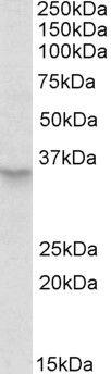 PEX2 Antibody (PA5-19321) in Western Blot