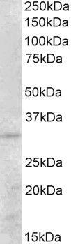 PEX26 Antibody (PA5-19322)