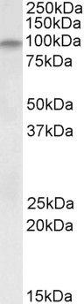 alpha Dystroglycan Antibody (PA5-19323)