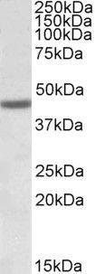 FANCL Antibody (PA5-19332)