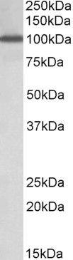 NUP107 Antibody (PA5-19334)