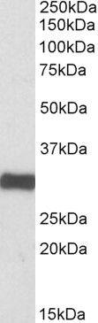 ETFA Antibody (PA5-19339) in Western Blot
