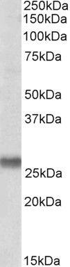 SNAP23 Antibody (PA5-19356)