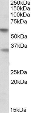 SIGLEC6 Antibody (PA5-19357)
