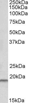 HAI-2 Antibody (PA5-19360)
