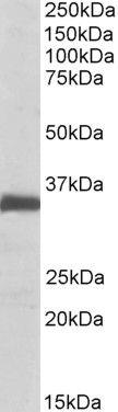 Ephrin B2 Antibody (PA5-19361) in Western Blot
