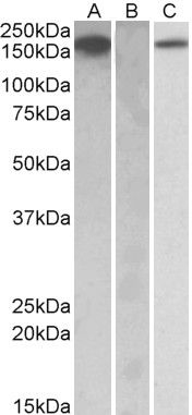 CSF1R Antibody (PA5-19365)