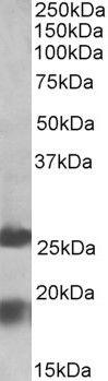 MPV17 Antibody (PA5-19391)