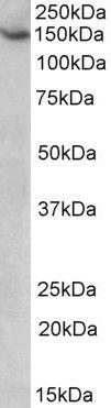 AGTPBP1 Antibody (PA5-19400)