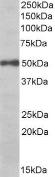 eIF3e Antibody (PA5-19411)