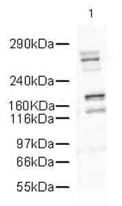 DcR1 Antibody (PA5-19429) in Western Blot