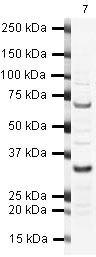 SKP1 Antibody (PA5-19442) in Western Blot