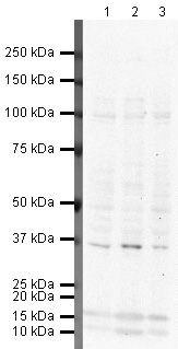 YBX1 Antibody (PA5-19453)