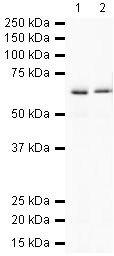 PTPRG Antibody (PA5-19458)
