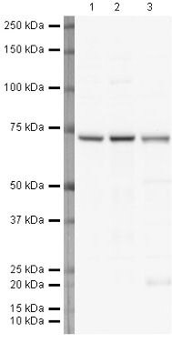 Lamin B1 Antibody (PA5-19468) in Western Blot