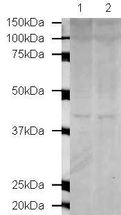 MBD3 Antibody (PA5-19472) in Western Blot
