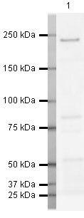 WRN Antibody (PA5-19476) in Western Blot