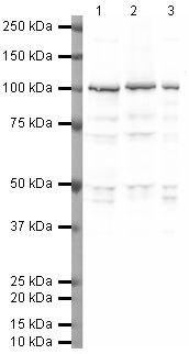 Phospho-PSD95 (Thr19) Antibody (PA5-19478) in Western Blot