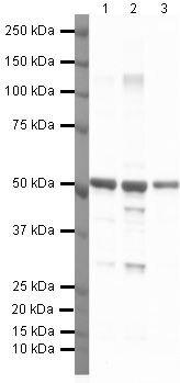 alpha Tubulin Antibody (PA5-19489) in Western Blot
