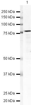 Nucleolin Antibody (PA5-19508) in Western Blot