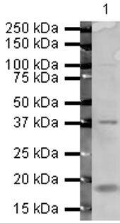 ATF4 Antibody (PA5-19521)