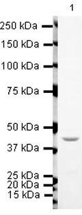 TIP60 Antibody (PA5-19523)