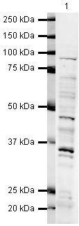 NBS1 Antibody (PA5-19525) in Western Blot
