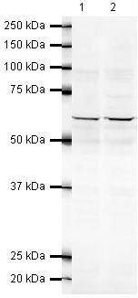 PP5 Antibody (PA5-19540) in Western Blot